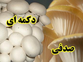 آموزش کاشت و پرورش قارچ دکمه ای و صدفی/اورجینال