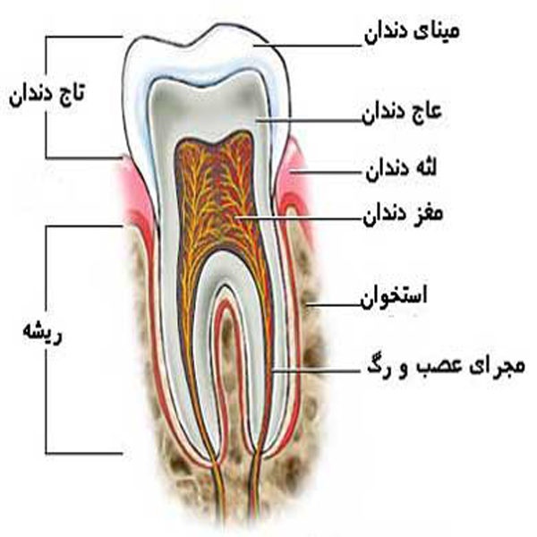 Image result for ‫تشریح دندان‬‎